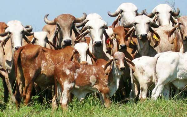 मोदी सरकार की तरफ से गायों को मिल गया 'तोहफा बेमिसाल'