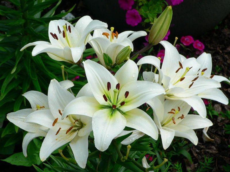 अस्थमा के मरीजों के लिए बहुत ही फायदेमंद है लिली का पौधा