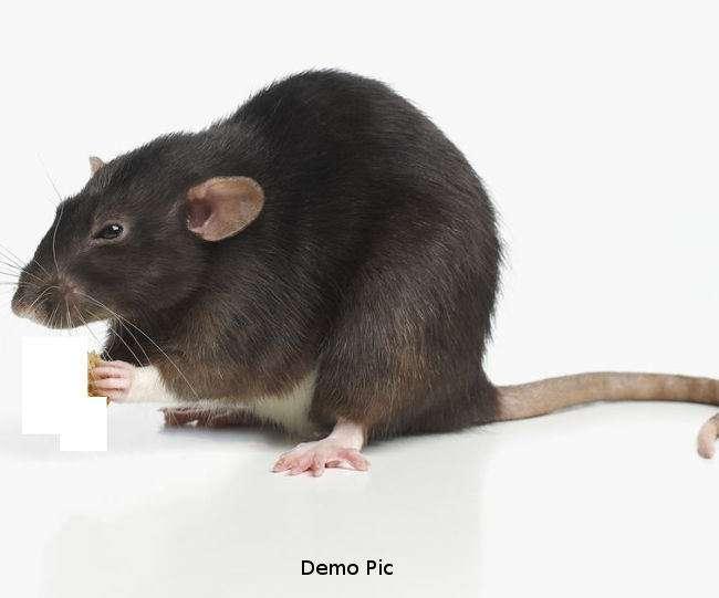 अर्जेंटीना पुलिस का दावा चूहे खा गए करोड़ों की मारिजुआना