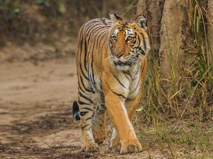 उत्तराखंड के कार्बेट टाइगर रिजर्व में 'तीसरी आंख' से होगी बाघों की गणना