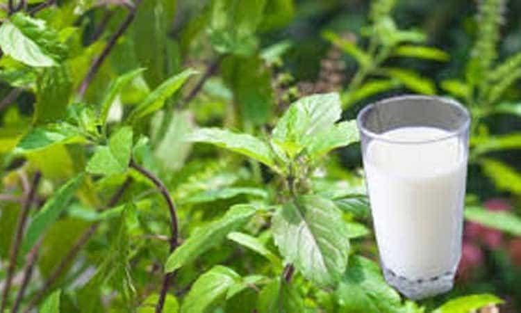 शरीर को स्वस्थ रखने के लिए जरुर पिएं तुलसी वाला दूध