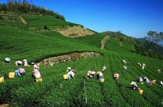जानिए कौन से हैं दुनिया के सबसे खूबसूरत चाय के बागान