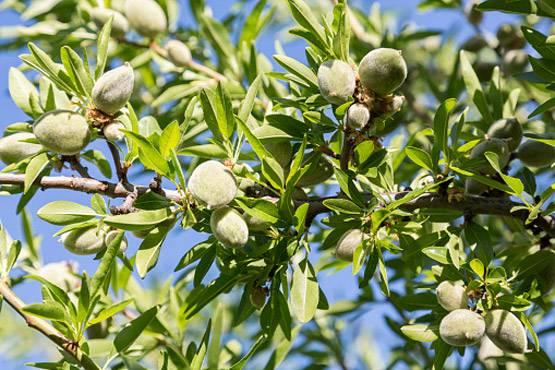 खाने की ये चीजें पेड़ पर कैसे उगती हैं, नहीं देखा होगा आपने!