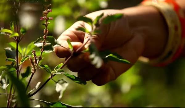 सप्ताह के इन दिनों भूलकर भी ना तोड़े तुलसी के पत्ते, मिलता है अशुभ फल