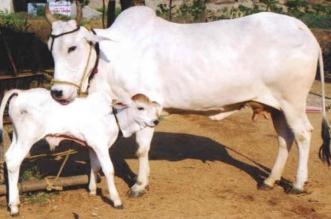 जानिए, गाय के किस अंग पर कौन से देवता करते हैं निवास