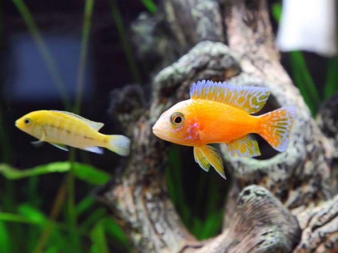 मछली के इस जोड़े को घर में लटकाना होता है बहुत शुभ...
