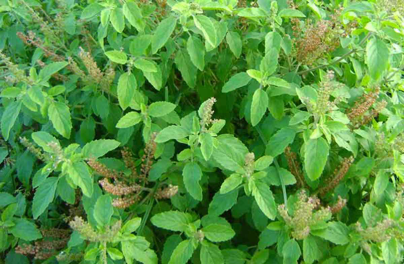 तुलसी के पौधे के पास लगाएं ये पेड़, पैसों की होगी बरसात