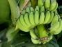 क्या आप जानते हैं हड्डियों को मजबूत बनाता है कच्चा केला