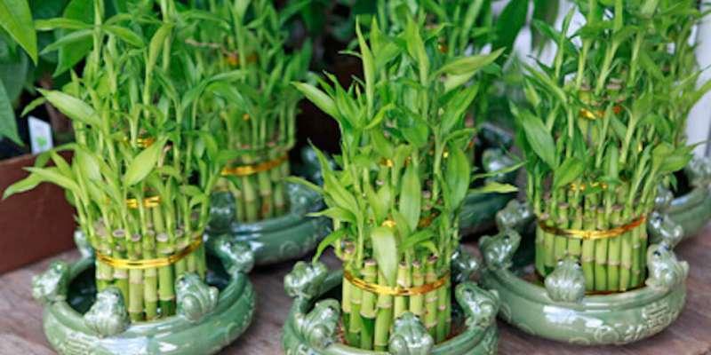 घर में पैसे और लंबी आयु के लिए घर के इस कोने में लगाएं फेंगशुई का पौधा