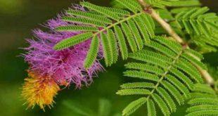 जानिए क्या है शमी वृक्ष का धार्मिक महत्व, कैसे करनी चाहिए इसकी उपासना...