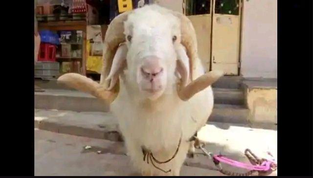 Photo of बकरीद पर भेड़ की कुर्बानी देगा ये परिवार, बताई ये वजह…