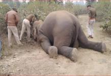 Photo of हाथी की दर्दनाक मौत: बिजली के तारों में फंसी सूंड आठ घंटे तड़पने के बाद तोड़ा दम