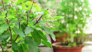 Photo of इस पौधे को घर में लगाने से आती है सुख-समृद्धि, जान लें ये मुख्य बातें