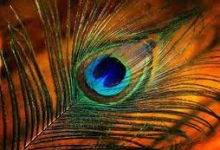 Photo of बंद किस्मत के खुल जाएंगे दरवाजे, बस घर में रख लें 'मोर पंख'