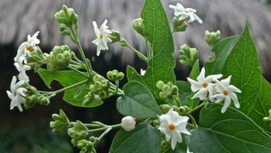 Photo of ज्योतिष शास्त्र के अनुसार ये 5 पौधे दूर करेंगे सभी दिक्कत, हरसिंगार से लेकर…