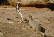 Photo of जाने सांप और नेवले की दुश्मनी के बीच का ये सबसे बड़ा कारण…